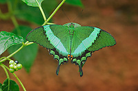 Emerald Swallowtail (Papilio palinurus), adult captive