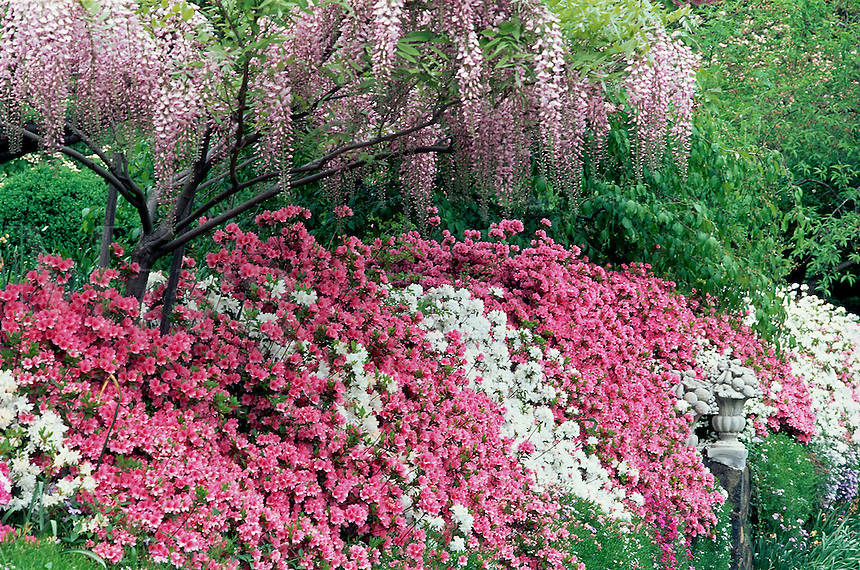 Garden with Wisteria and pink, white and red azaleas.#5710. Virginia.