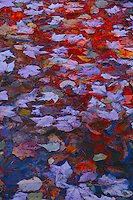 Red maple reflections<br /> Swift River<br /> White Mountain National Forest<br /> New Hampshire, New England