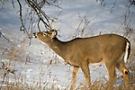 White-tailed buck performing flehmen