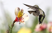 Hummingbird in Flight, what a Sight! Capturing this high-speed bird in flight while feeding off of the flowers of Gere's Garden in Santa Barbara County, California was quite an unexpected and welcomed surprise. Fine Art Photography by Kimberly Catherine.
