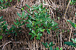 Pneumatophores (aerial roots) are put out by black and white mangroves.