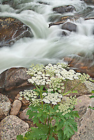 Cow parsnip grows along the water course of Glacial Creek in Rocky Mountain National Park in Colorado