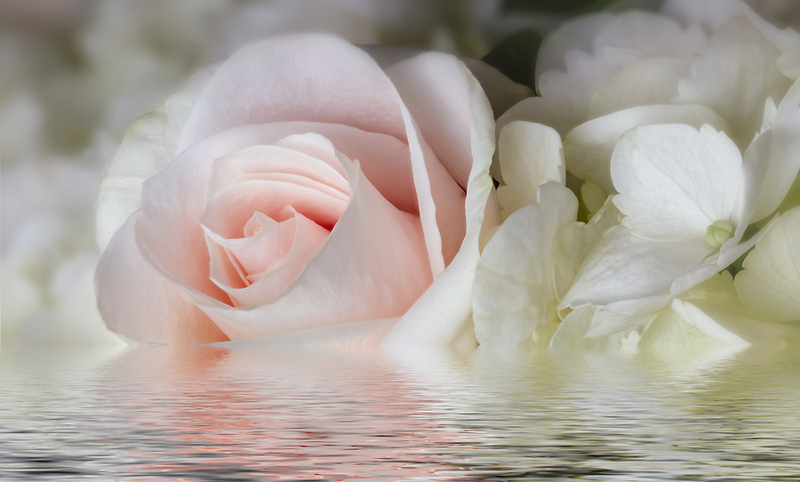 pink rose, delicate flowers, water, rose,