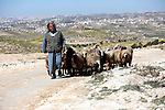 A Palestinian man leads his goats as Israeli bulldozers demolishing water network on a Palestinian land near the village of Yatta, south of the West Bank city of Hebron, February 13, 2019. Israeli authorities regularly demolish constructions and makeshift infrastructure of Palestinian residents who do not have needed permits to build or establish infrastructure in area C which in the occupied West Bank. Photo by Wisam Hashlamoun