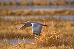 A sandhill crane in flight in Bosque Del Apache National wildlife Refuge New Mexico, USA December 16 2007. Photo by Gus Curtis