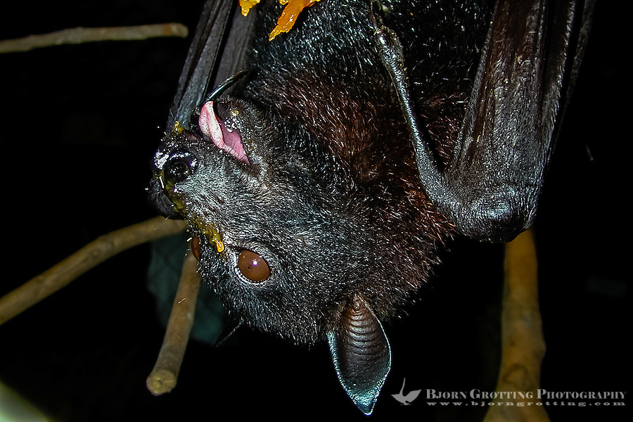 Indonesia, Java, Bandung. Fruit Bat, also called Flying Fox (Pteropus scapulatus). Here eating papaya.