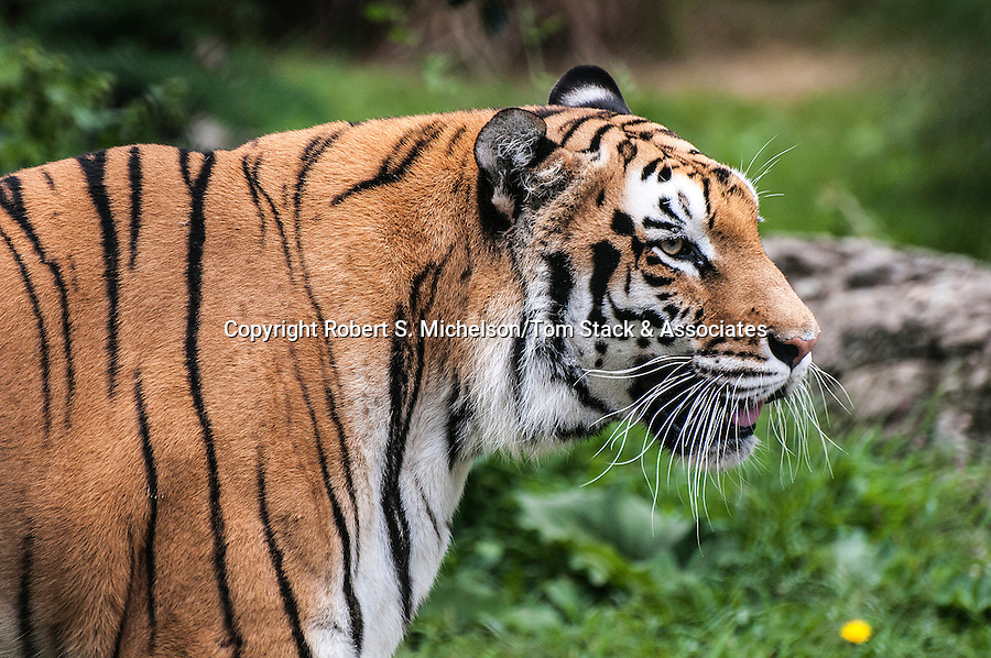 Bengal Tiger medium shot