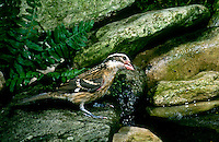 Rosebreasted grosbeak, Pheucticus ludovicianus, in garden bathing pool, Missouri, USA