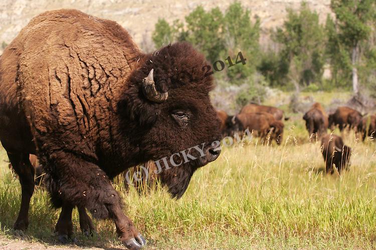 Theodore Roosevelt National Park - Badlands, South Unit - Bison