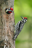 Yellow-bellied Sapsucker - Sphyrapicus varius - Adult male in nest/Adult female on trunk