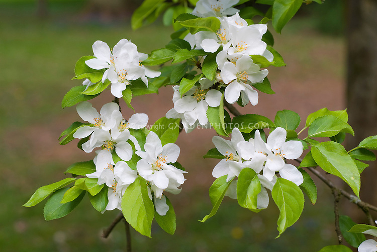Malus spectabilis in spring flower, crabapple