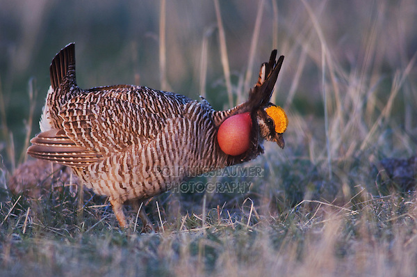 Lesser Prairie-Chicken, Tympanuchus pallidicinctus, male displaying vocal sac inflated, Canadian, Panhandle, Texas, USA