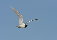 Mediterranean Gull Larus melanocephalus - Breeding Adult. L 36-38cm. Similar to Black-headed but has stouter bill; adult has uniformly pale wings. Sexes are similar. Adult in summer has pale grey back and wing coverts, and white flight feathers. Note black hood and white 'eyelids'; bill is mainly red, with yellow tip and black sub-terminal band. Legs are deep red. In winter, loses dark hood; whitish head has menacing look created by dark smudges. Juvenile has grey-brown upperparts with pale margins to back feathers. Note darkish flush on breast. Bill and legs are dark; tail has dark terminal band. 1st winter bird is similar to juvenile but with plain grey back and dark smudges on head. Adult plumage is acquired by 3rd winter. 2nd year bird resembles adult (at respective times of year) but with variable black in wingtips. Voice Utters cow-cow-cow call. Status Very locally common, usually with Black-headeds. Small numbers nest in S England. More widespread outside breeding season.