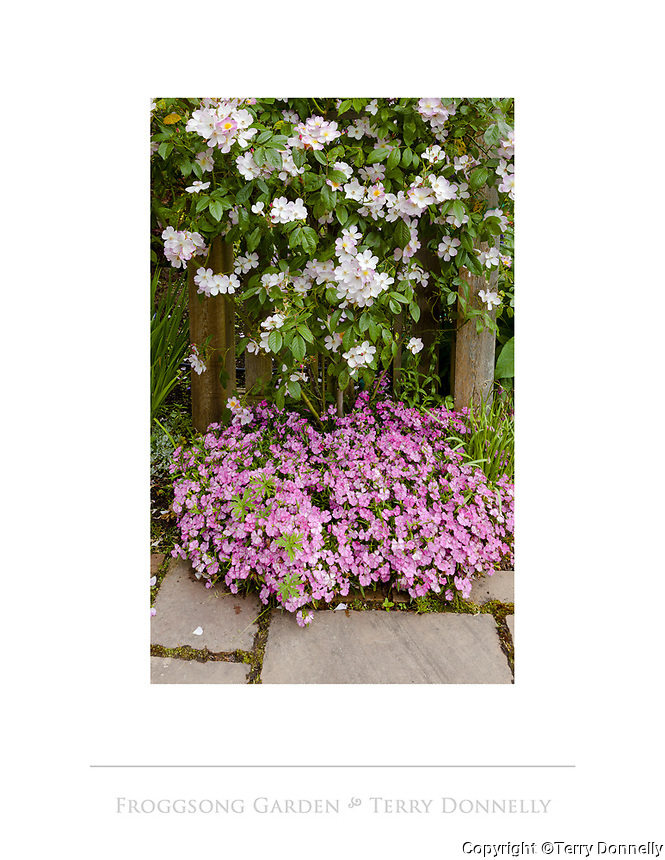 Vashon Island, WA: A detail of pink blossoming dianthus with climbing rose on stone walkway in Froggsong garden in summer