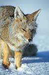 Adult Grey Fox dusted with snow and ice crystals with raised paw, looking for food after snowfall.