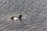 A Greater scaup, with water dripping from its bill, floats on the water at the San Leandro Marina on San Francisco Bay.
