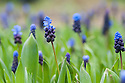 Grape hyacinth (Muscari latifolium), mid March. Sometimes called two-coloured muscari due to its dark blue, scented flower spikes with unusual sky-blue tops.