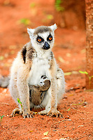 Ring-tailed Lemur (Lemur catta), mother nursing her young, Berenty Reserve, Madagascar, Africa