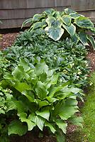 Hosta Stock Photos Images Plant Flower Stock Photography