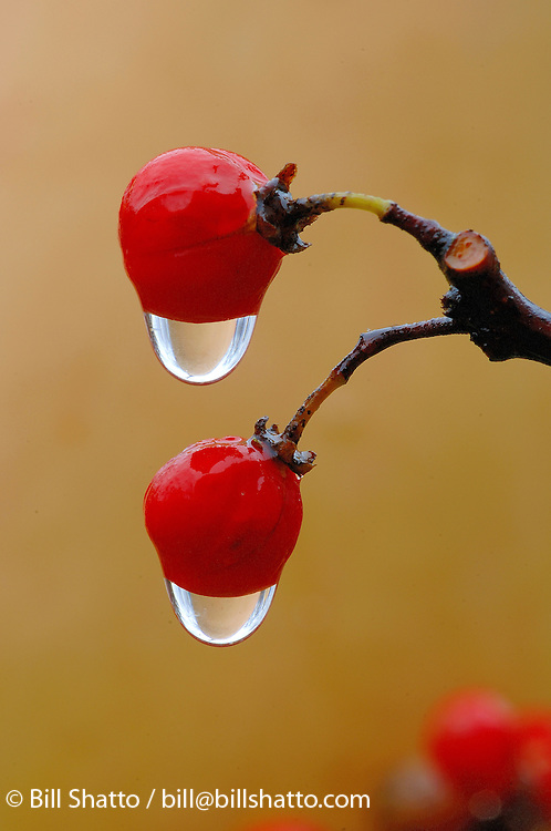Bittersweet Berries in the Rain