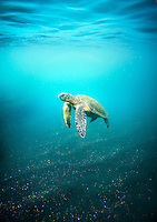 Pacific Green Sea Turtle, Galapagos, Ecuador, South America