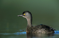 Least Grebe, Tachybaptus dominicus, male, Lake Corpus Christi, Texas, USA, June 2003