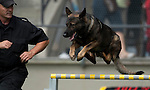 Vancouver, Canada, Aug 6th 2009. World Police and Fire Games, Police Service Dog Competition.  Teak, a four-year-old German Shepherd, jumps over an obstacle in the Agility portion of the competition.  Teak and his handler, Derrick Gibson of the Vancouver Police Department, took first place in the Agility portion of the competition, second in Protection, and third Overall.  Photo by Gus Curtis