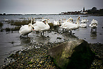 Swans feeding in the bay at Bosham in West Sussex, England