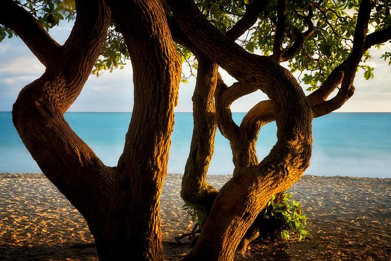 Twisted tree and  beach. Kalama Beach Park. Oahu, Hawaii