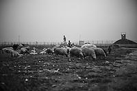 Des troupeaux paissent en face des barbelés dans le no man's land.