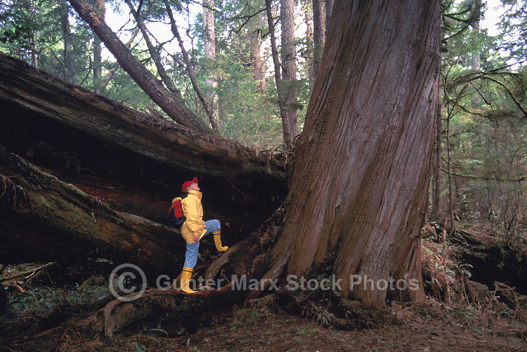 Middle Aged Hiker looking up Giant Western Red Cedar Tree (Thuja plicata), Pacific Rim National Park Reserve, West Coast of Vancouver Island, BC, British Columbia, Canada (Model Released)