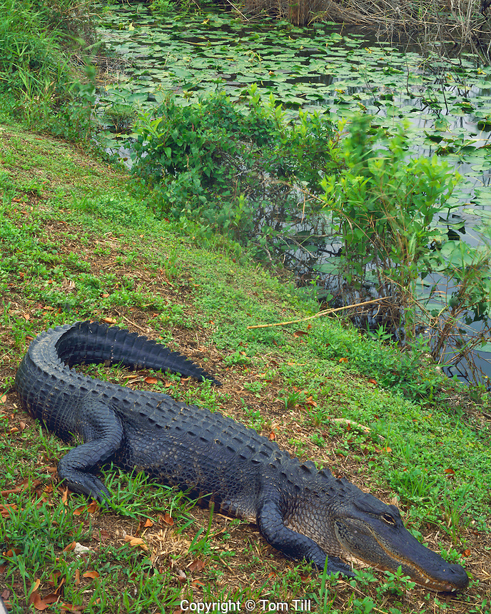 American Alligator, Anhinga Trail, Everglades National Park, Florida