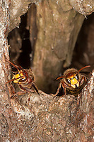 Hornisse, am Eingang zum Nest in altem Baum, Baumhöhle, Vespa crabro, hornet, brown hornet, European hornet