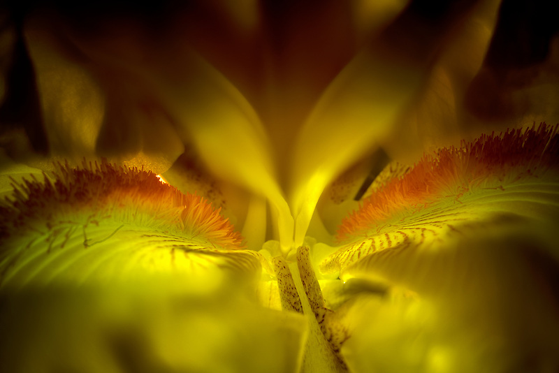 Close up of Iris blossom. Oregon