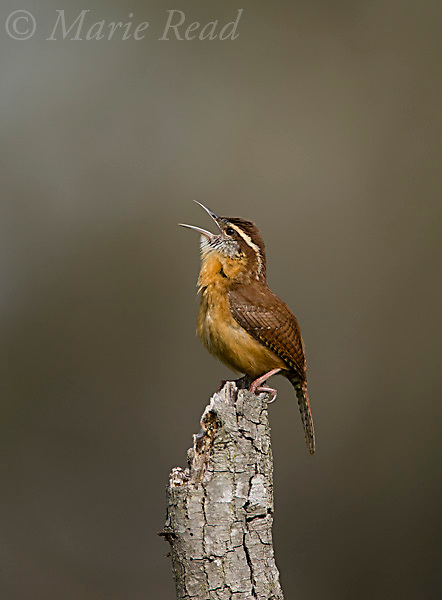 Carolina Wren (Thyrothorus ludovicianus), singing, Lake Kissimmee State Park, Kissimmee, Florida, USA.