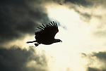 Silhouette of bald eagle soaring through the sky.