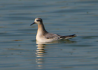 Adult red phalarope in non-breeding plumage in October.