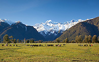 Herd of hereford cattle with snow covered Mount Tasman seen behind. Near Fox Glacier on the West Coast, South Island, New Zealand