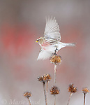 Common Redpoll (Carduelis flammea) taking flight from coneflower seedhead in winter, New York, USA