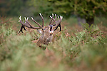 Red deer (Cervus elaphus) stag roaring during the rut at Bushy park, London