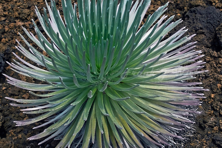 A vibrant young Silversword plant in HALEAKALA NATIONAL PARK on Maui in Hawaii