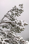 Windswept conifer crusted with icy snow, Mount Rainier National Park, Washington, USA<br /> <br /> Canon EOS-1DS, EF70-200mm f/2.8 lens, f/22 for 1/30 second, ISO 50