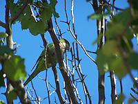 Photo of a Monk Parakeet, Piermont, August, 2011