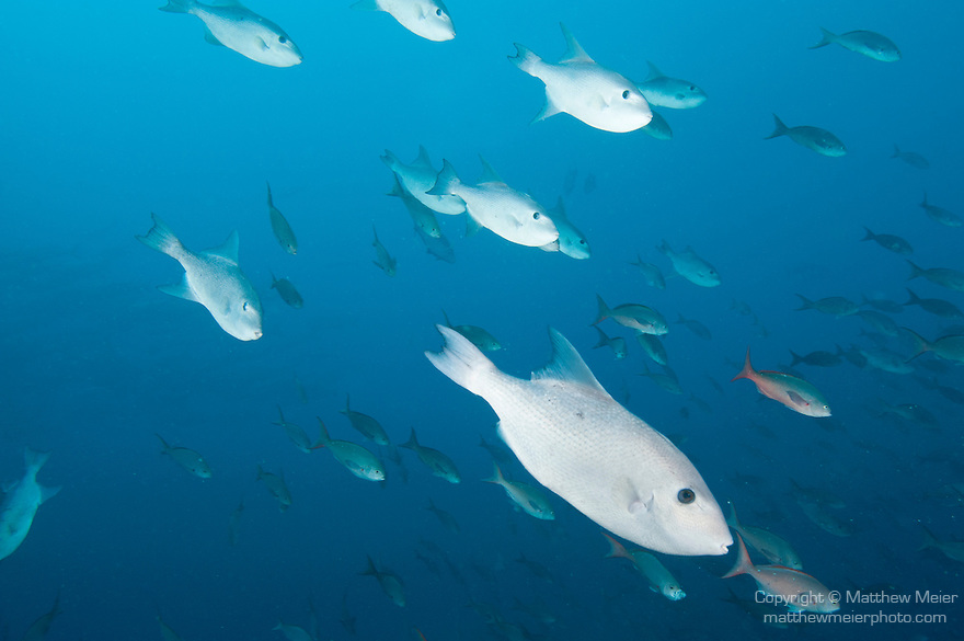 Cocos Island, Costa Rica; an aggregation of Rough Triggerfish (canthidermis maculata) and Pacific Creolefish (Paranthias colonus) swimming in the blue water of the open ocean
