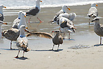 western gull pulling wing of Hermann's gull at Ano Nuevo's Cove Beach