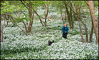 Fabulous display of wild garlic in a Dorset wood.