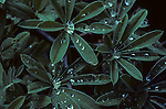 Raindrops on Lupine leaves in Grand Teton National Park, Wyoming.