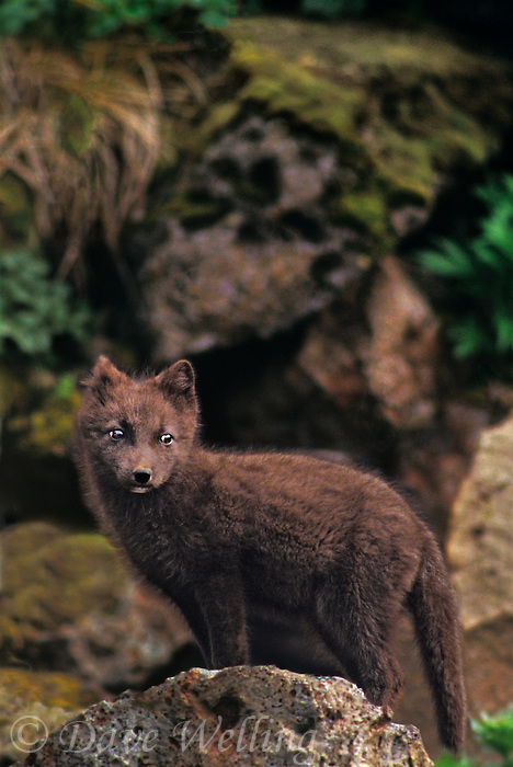 630650342a a young arctic fox alopex lagopus stands on a large boulder near the town on st george island in the pribilof islands off the southwest coast of alaska