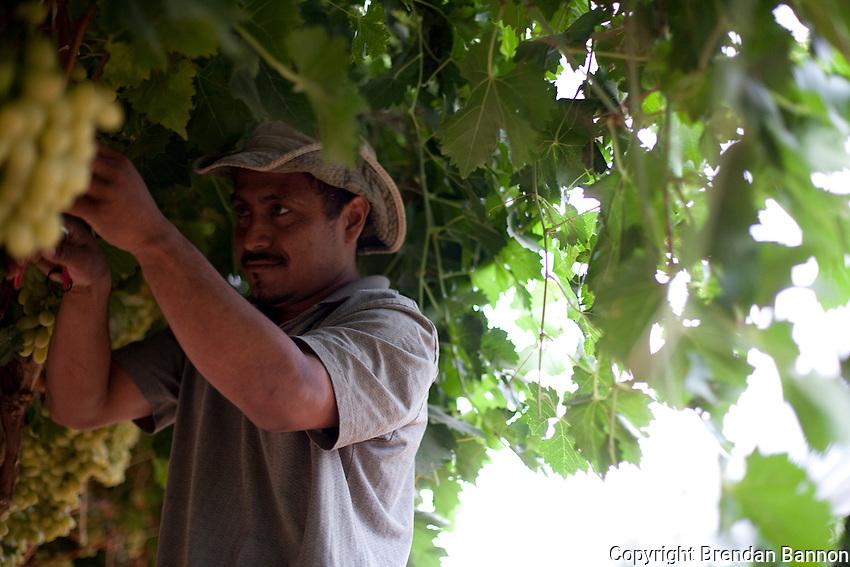 Farm worker picking grapes near Arvan, CA
